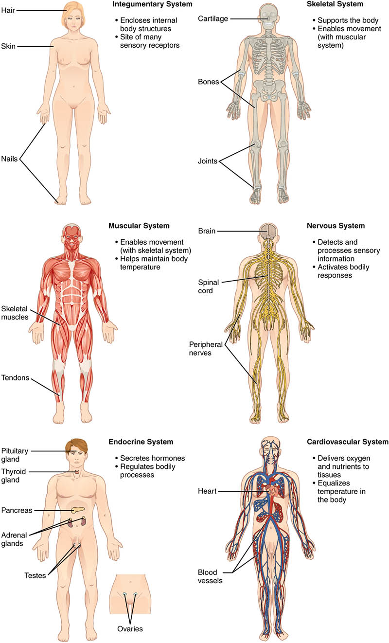 Different Character To The Organ Map Of The Human Body