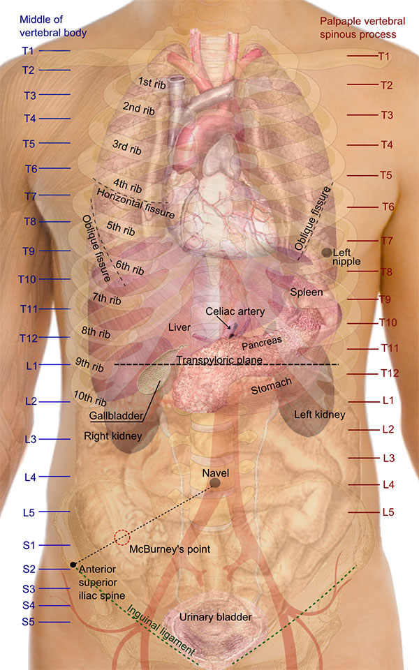 Picture of where organs are located in the body