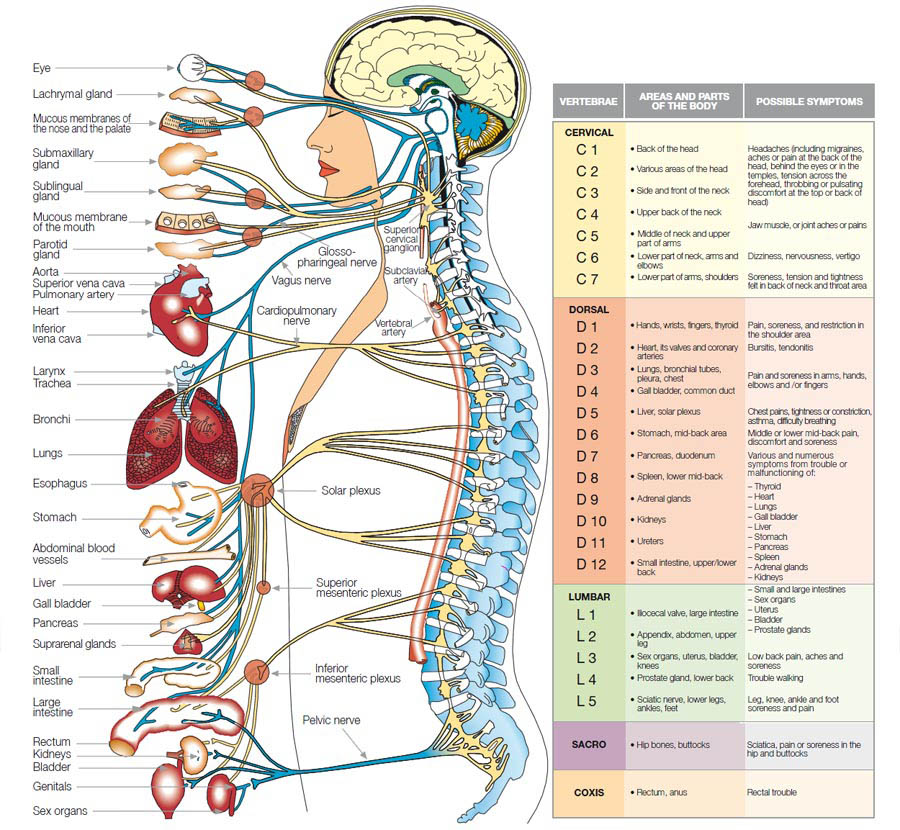 Organ Systems Of The Human Body And Their Functions