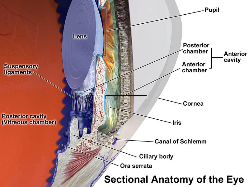 The Body Of The Eye Model Human Model Anatomy – HumanAnatomyBody.com
