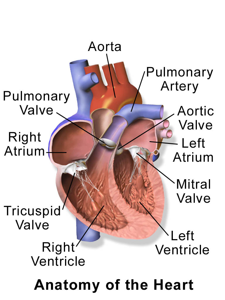 the anatomy of the heart and its diseases In heart disease the heart has some type of abnormality if minor enough, the heart is able to deliver adequate perfusion to the cells, and there is no problem, at least initially in heart failure, the heart does not maintain an adequate perfusion for normal cell function.