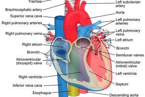 Functions and Anatomy of Interior Vena Cava