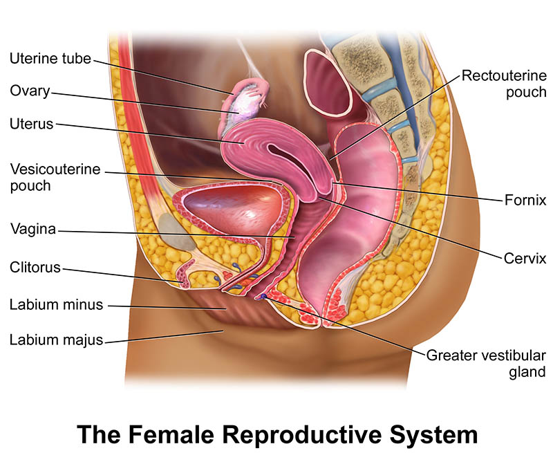 Knowing The Location Of The Ovaries Humananatomybody