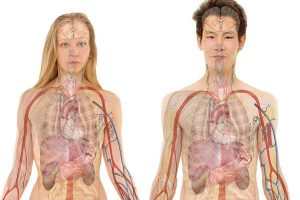 Medical Use Human Organ Anatomy